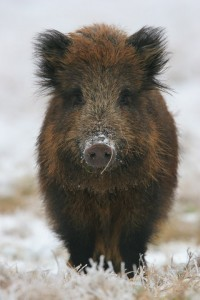 Polish wild boar ---- soooooooooo cute!!!!